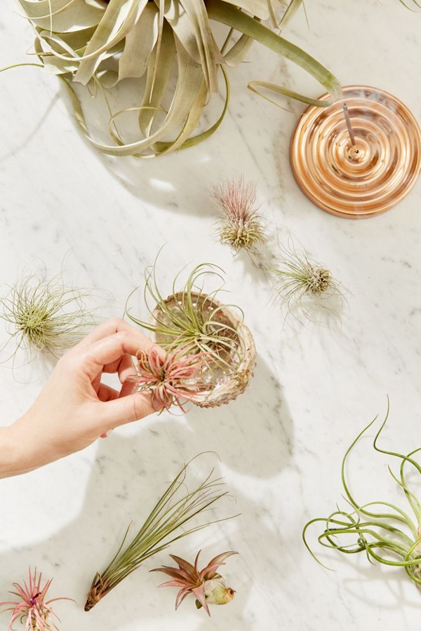 Small Live Assorted Air Plant - Set of 12 $35.00
