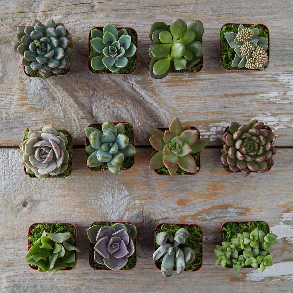 Succulent Collection, Set of 12 $58.00