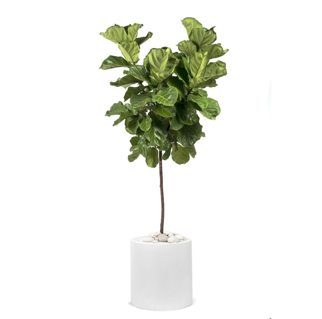 MILANO CYLINDER SMALL WHITE – FICUS LYRATA (FIDDLE LEAF TREE) $795.00