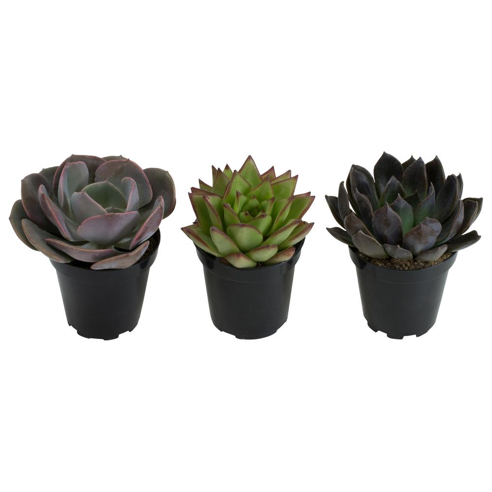 9 cm. Assorted Desert Rose Echeveria Succulent Plant (3-Pack) $15.79
