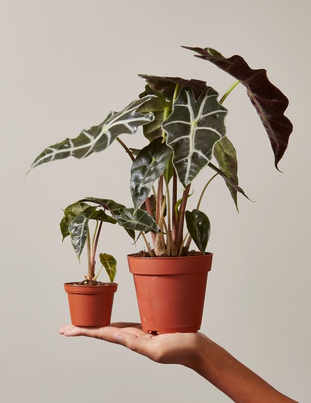 Alocasia Polly In Small Grant Planter $38.00