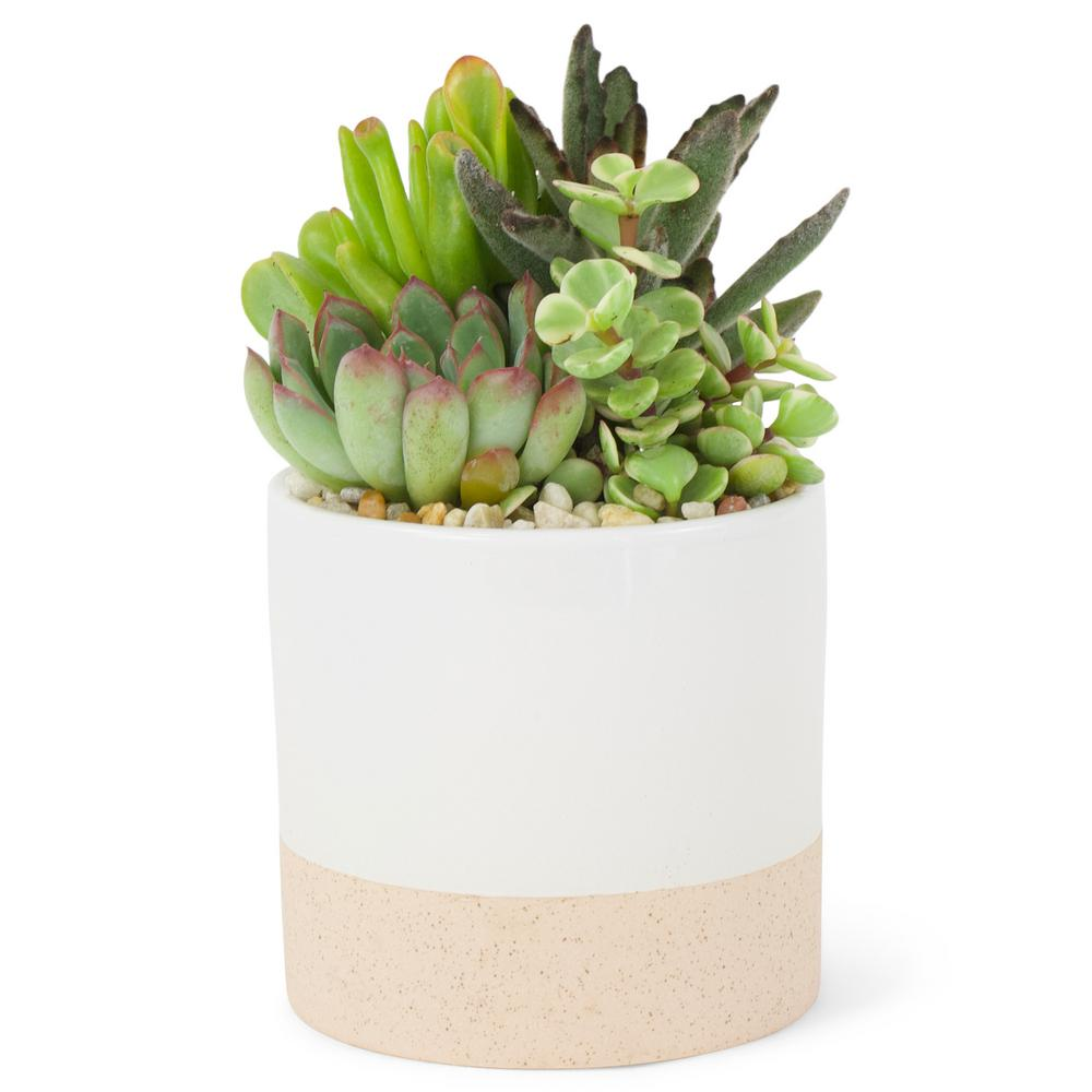 4 in. Succulent in Ceramic Combo $12.98