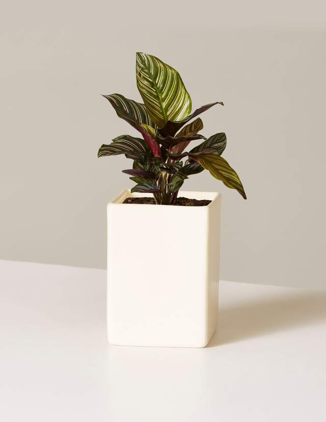 Calathea Pinstripe In Mini Grant Planter $18.00
