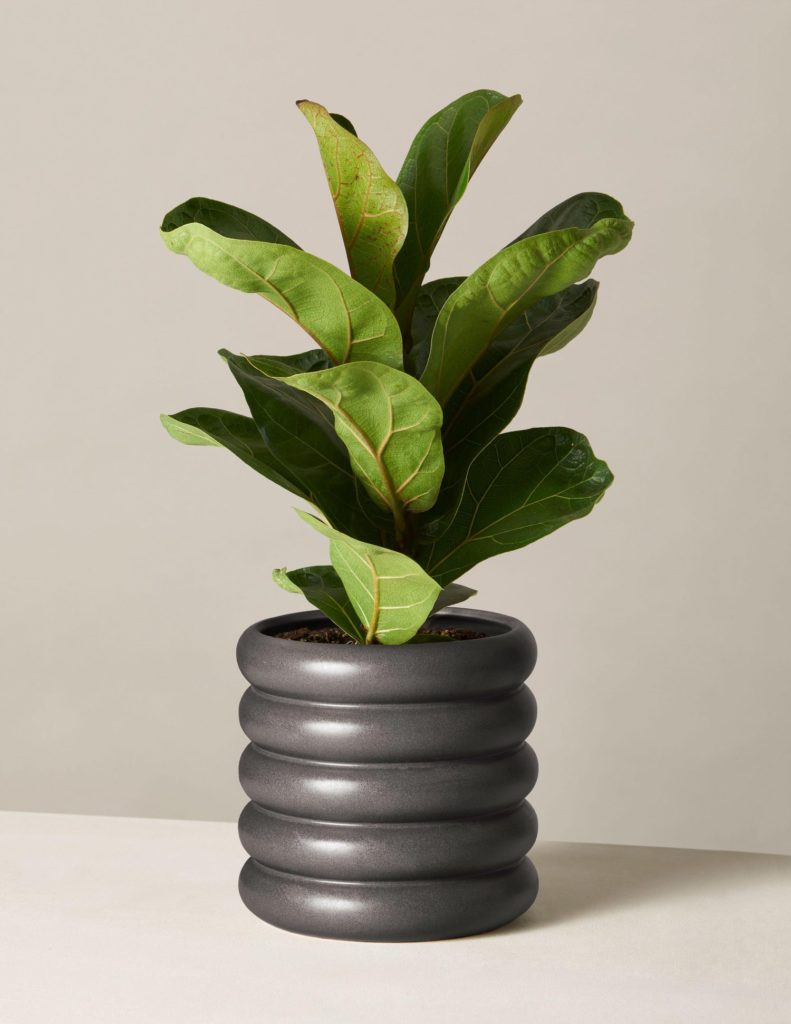 Fiddle Leaf Fig In Medium Dolores Planter $62.00