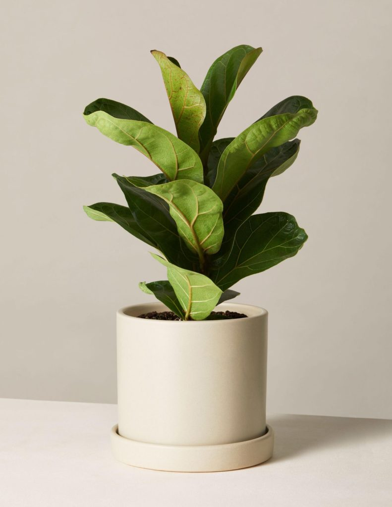 Fiddle Leaf Fig In Medium Hyde Planter $67.00