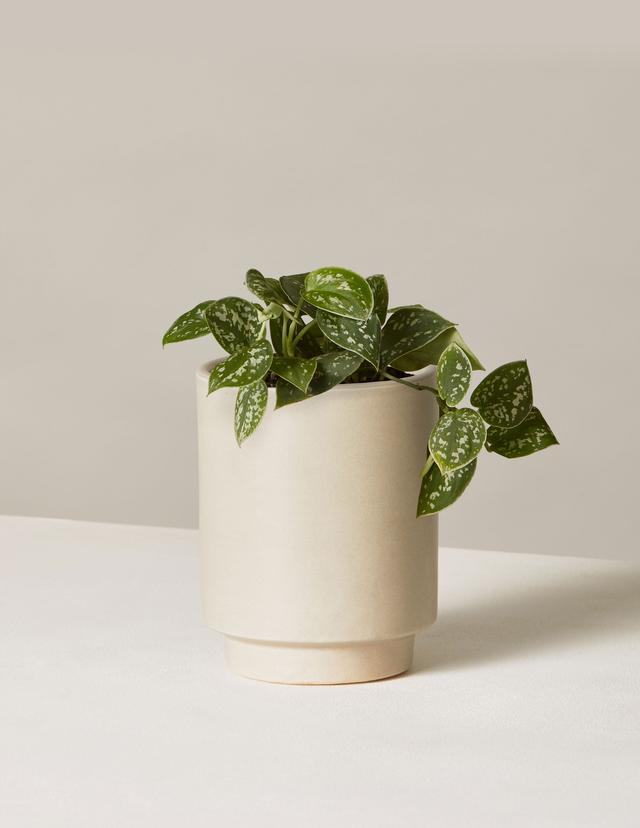 Silver Philodendron In Mini High Line Planter $19.00