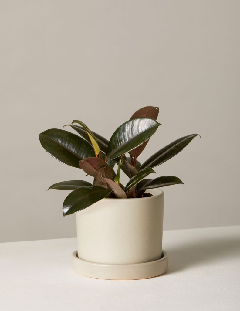 Rubber Tree In Small Hyde Planter $42.00