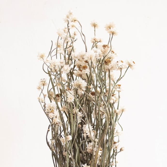 Natural Dried Everlasting Sandflower Ammobium Bunch$21.99