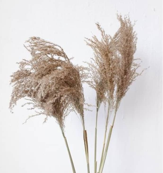Tall Natural Brown Wide Cortaderia Pampas Grass$38.99