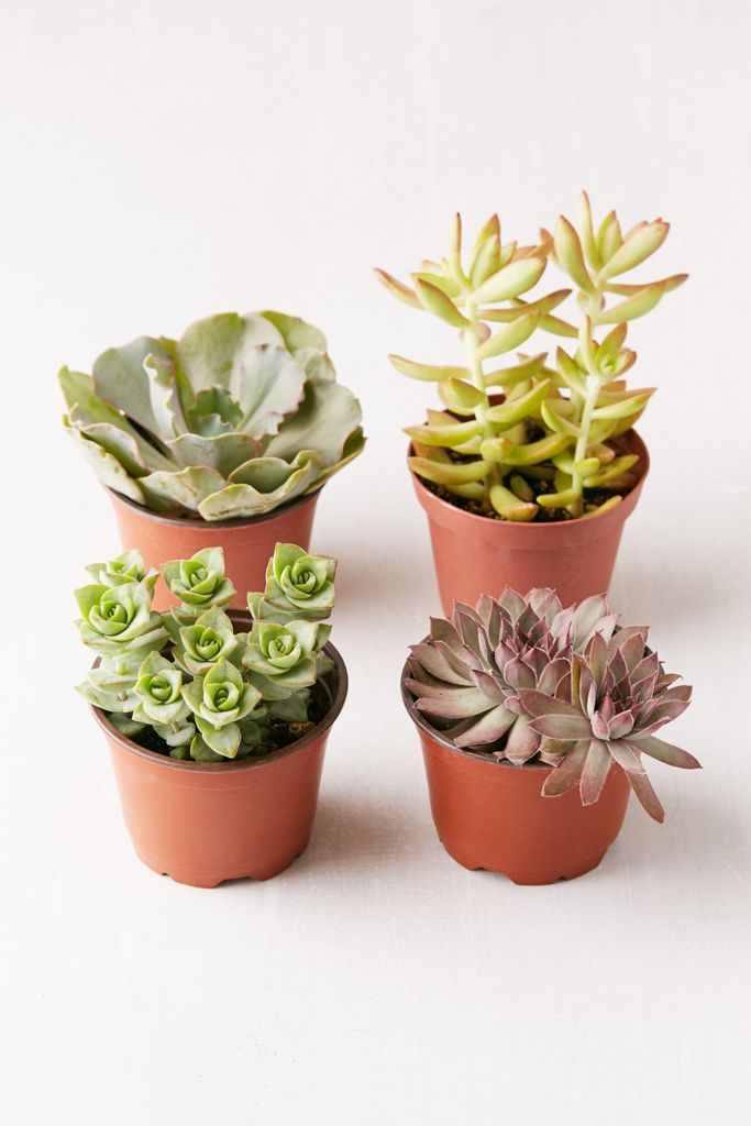"4"" Live Assorted Succulents - Set of 4 $49.00"