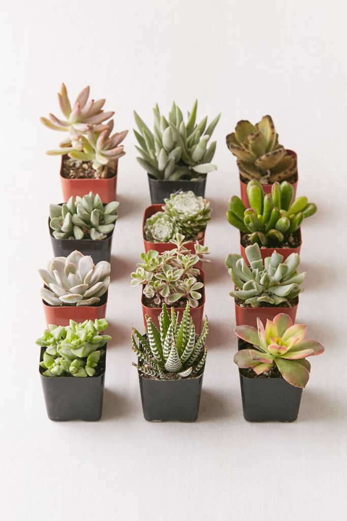 "2"" Live Assorted Succulents - Set of 12 $49.00"