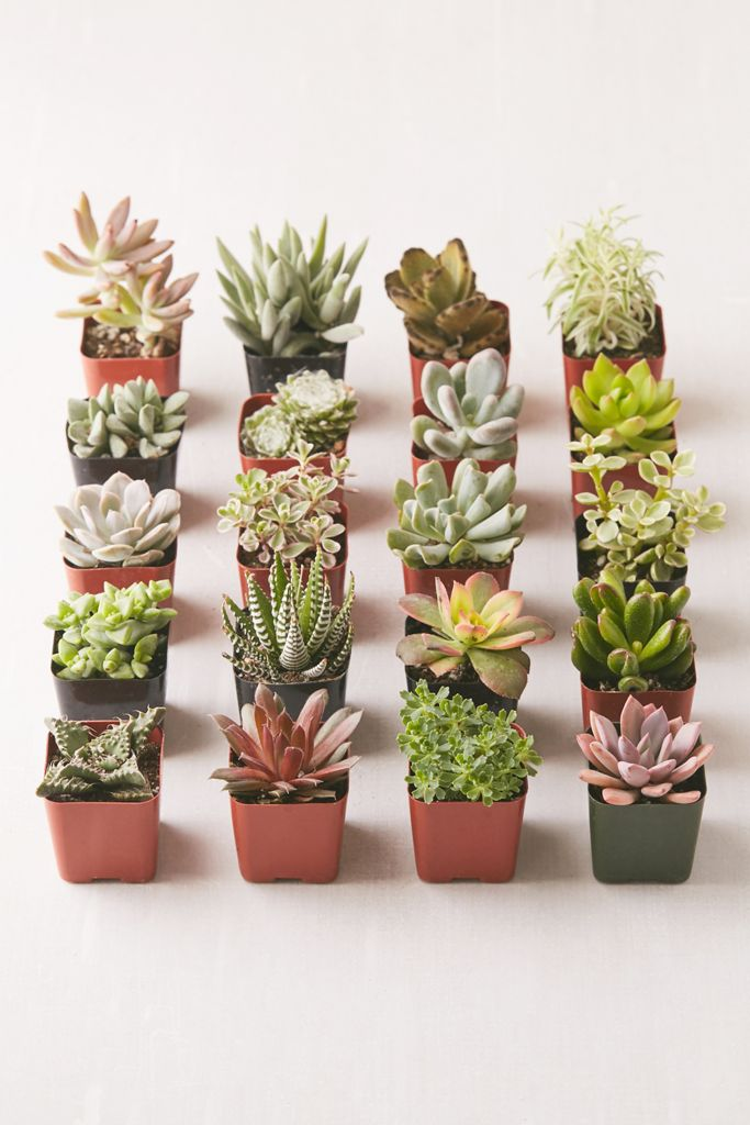 "2"" Live Assorted Succulents - Set of 20 $69.00"