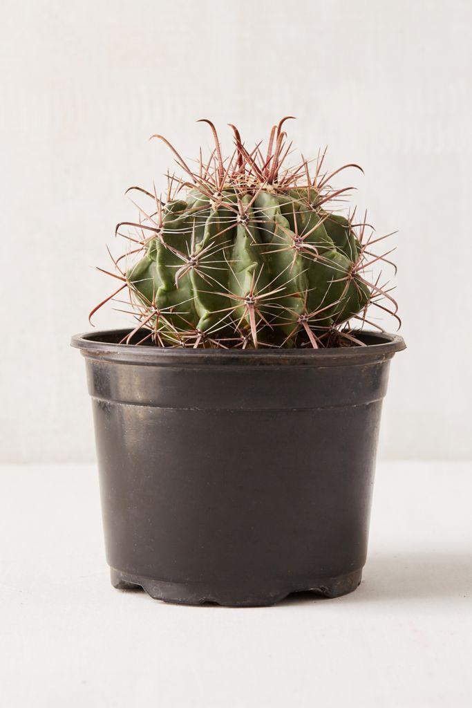 """6"""" Live Cactus $34.00"""
