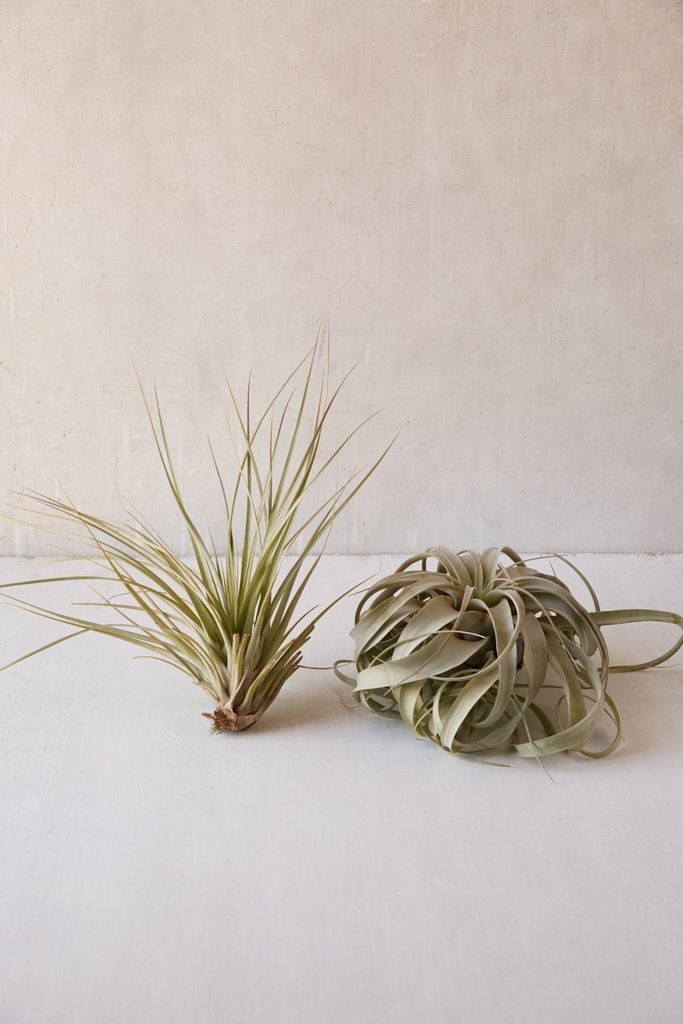 Giant Live Air Plant $50.00